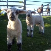 coach-trip-snow-lambs-062